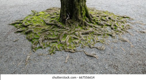 Tree root with moss and gravel