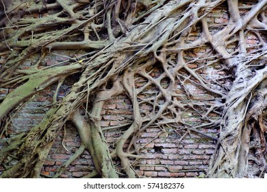 Tree Root On The Old Brick Wall Background.