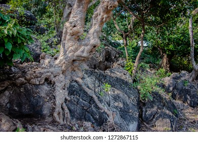 Tree root splitting apart the rock. Plant roots grow down into the rock and it can break down. The roots of tree can force deeper into the rock as the roots and the plant continue to grow, splitting t