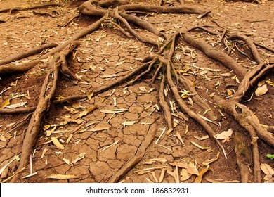 tree roots in dry cracked soil