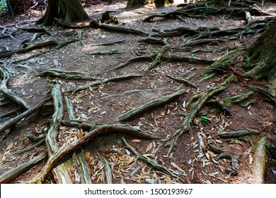 TREE ROOTS EXPOSED ON TOP OF GROUND IN SHADOWY FOREST