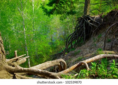 Tree roots grow above ground on the edge of the cliff. Environmental problem - soil erosion and gully formation. Roots of the tree in the spring fairy-tale forest. Big pine roots in magical wood.