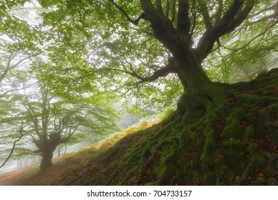 Tree roots in a misty forest