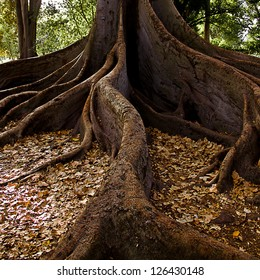 Tree Roots, Moreton Bay Fig. Adelaide, South Australia.