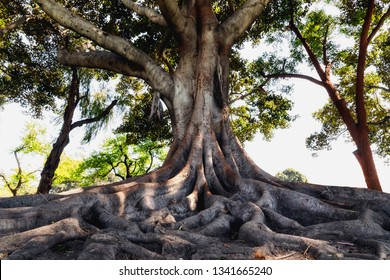 Tree roots, Moreton Bay Fig, California