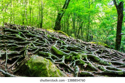 Tree roots on forest ground. Tree roots on ground. Tree roots closeup. Tree roots view