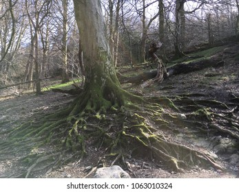 Tree and roots, Rydal Water, Lake District, Cumbria, England