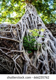 Tree with Roots Ta Prohm. Angkor Wat. Siem Reap. Cambodia.