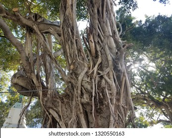 tree with roots and vines in Ponce, Puerto Rico
