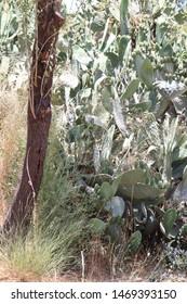 tree and sabra on Jerusalem hills