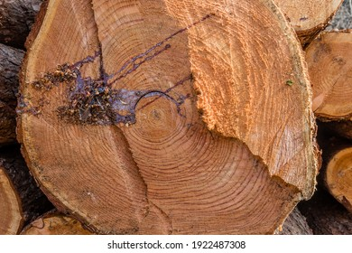 Tree sap on cross section of large tree felled by loggers.