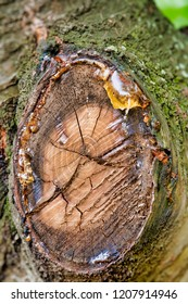 Tree sap oozing from a cherry tree branch cutoff.