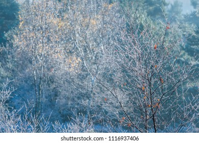 Tree saplings with a few remaining leaves covered in hoar frost on a cold winter morning as the early sunshine melts the ice.