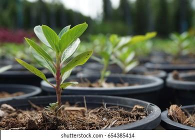 Tree seedlings in pots.