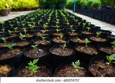 Tree seedlings in pots, Marigold flower.