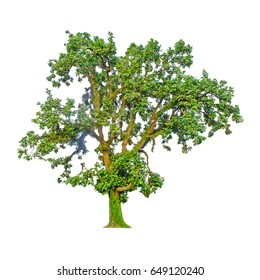 Tree and Tree shape on white background for isolate the background, A single tree on white background