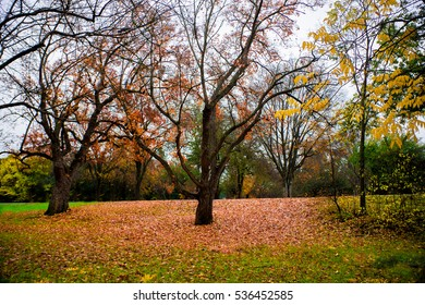 Tree shedding its leaves, Chico California