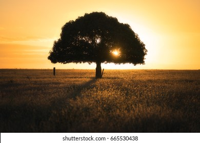 Tree silhouette in a field at sunset
