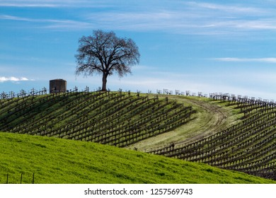 A tree and silo stand in a hilltop vineyard with wispy winter clouds above. Asti, California, USA
