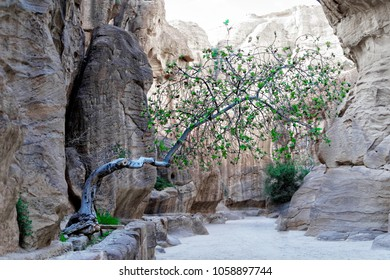 Tree in the Siq growing out of a crevice with little topsoil and fighting for its survival in the desert in the rock town and necropolis Petra, Jordan, middle east