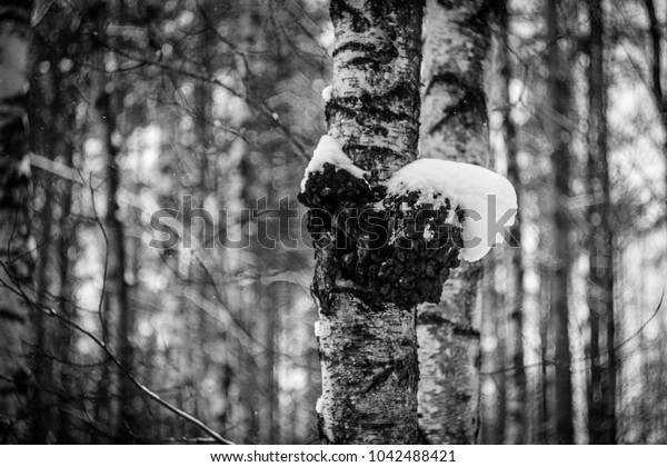 tree in the snow, birch in the snow, forest in winter, plants in winter