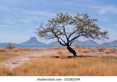 Tree in Sonora, Mexico