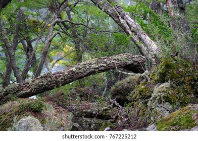 Tree in the southern Patagonia