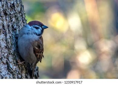 Tree sparrow in the garden.
