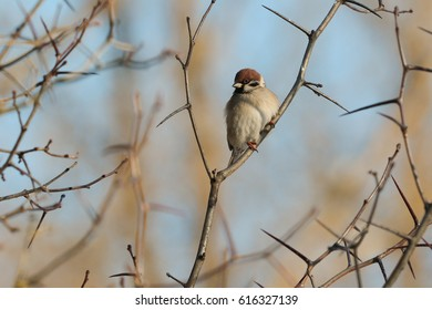 The Tree Sparrow on a branch