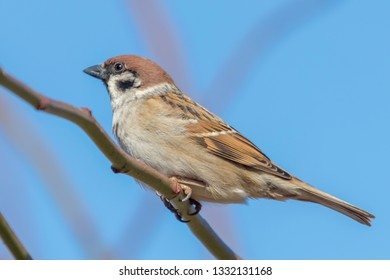 Tree Sparrow on branch (Passer montanus) Close Up