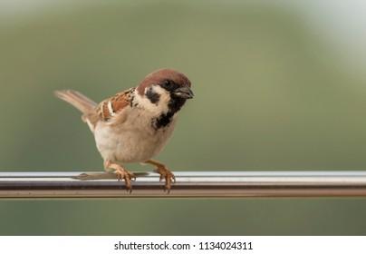 Tree sparrow pair copulation