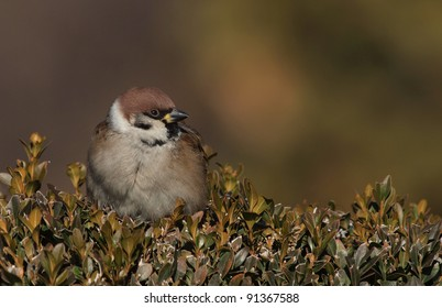 Tree Sparrow (Passer montanus) on a Hedge