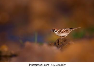 Tree sparrow, Passer montanus, single bird. Beautiful photo with blurred background. Wildlife bird. Czech Republic
