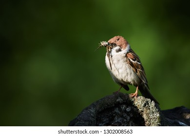 Tree sparrow, Passer montanus, single bird feeds the young by insects. Wildlife scene from nature of Czech Republic.