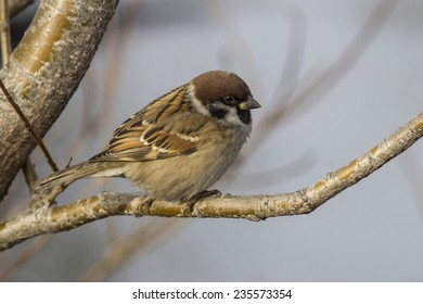 Tree Sparrow who sits in the fork of stone birch autumn day