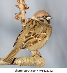Tree sparrowd on the branch. East Moravia. Europe.
