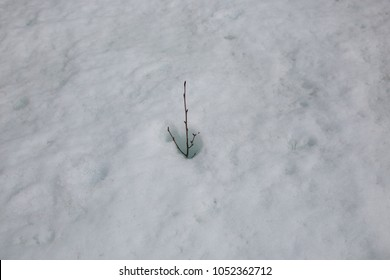 Tree sprout on the snow in the spring