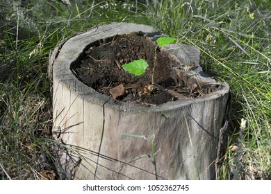 Tree sprout on the stump