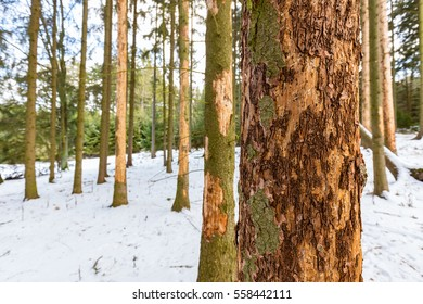 Tree in spruce monoculture forest attacked by bark beetle (Ips Typographus), European forest in Czechia