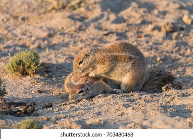 A tree squirrel grooming another in Botswana, Africa
