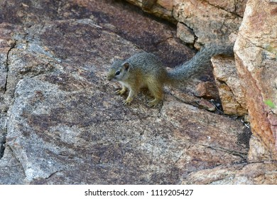 tree squirrel in Kruger national park, Africa