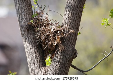 Tree squirrel nest high up in a leafy tree.
