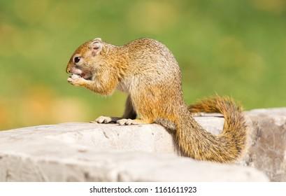 Tree squirrel ( Paraxerus cepapi) eating leftover bread, Namibia