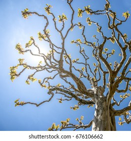 Tree with straight stem and twisted branches decorated by the blue sky background of the Italian sky on the Lago Maggiore. Acacia family's. Backlight image, desktop, screen sever or any use.
