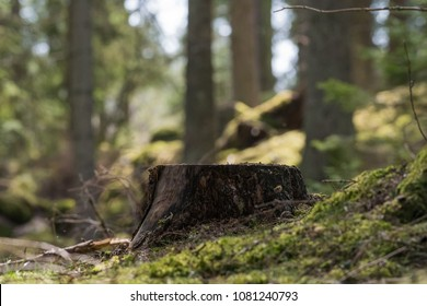 Tree stump in a bright and green coniferous forest