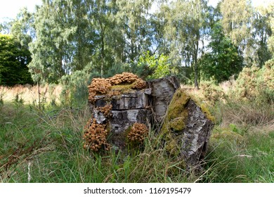 Tree stump covered in fungi, in a woodland setting.