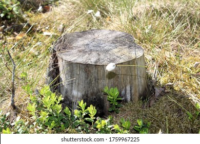 A tree stump and  lingonberry twigs in a Finnish forest