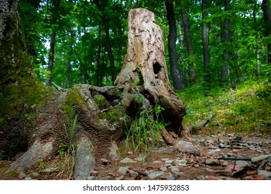 A tree stump that looks almost mystical in the midst of the forest on Mount Nittany.