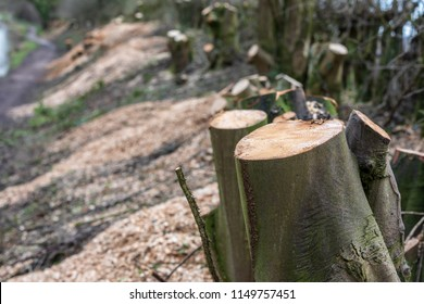 Tree stumps after trees have been cut down on the Macclesfield canal in Cheshire as part of a conservation based canal towpath maintenance programme.  Chippings and trees stumps line the canal