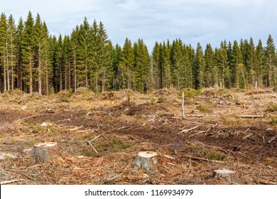 Tree stumps in a clear cutting